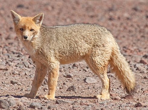 Falkland Islands Wolf   islands. hannah hodson local the named was 1999. Canis also by the ...