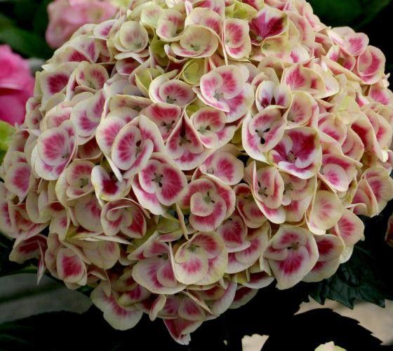Cityline® Mars Bigleaf Hydrangea Cityline® Mars Hydrangea macrophylla 'Ramars' Distinctive variegated mophead flowers range from deep indigo-blue to magenta-pink. The long-lasting blooms age to an att