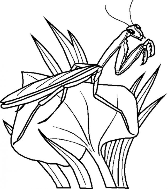 Mantis Is A Type Of Green Bugs Coloring Page free Join my grown