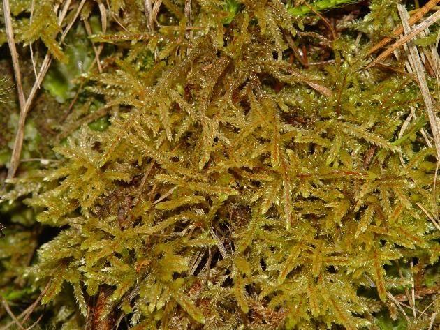 Pleurozium schreberi  - travník Schreberův