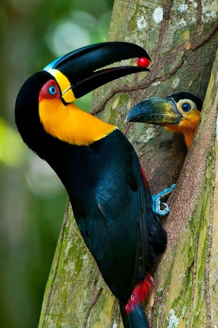 Toucan feeding the baby.