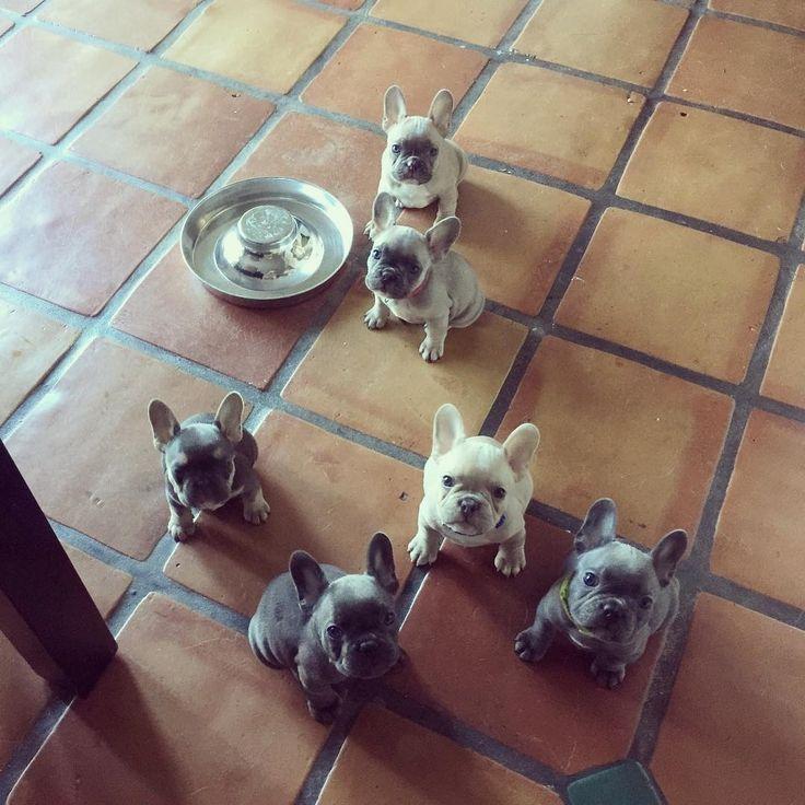 French Bulldog Raw Or Barf Diet French Bulldog Puppies Bulldog