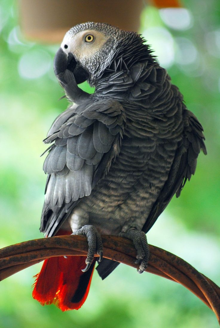 African Grey Parrot: this is my favorite Parrot, and the best talkers.  Just like my Magoo.