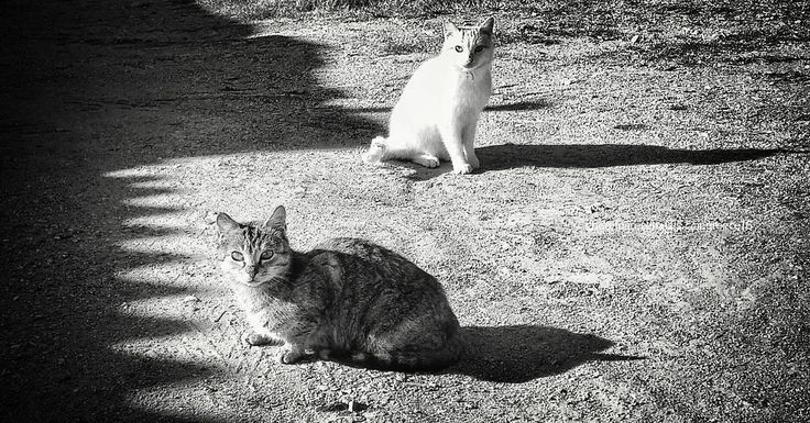 """""""A cat has absolute emotional honesty ; human beings,  for one reason or another,  may hide their feelings,  but a cat does not. """" ~Ernest Hemingway  #quote #caturday #catsofgreece #greece #ig_cat #mobilephotography #mobilephoto #bw_greece #blackwhitephotography #blackandwhite #monochrome #blancoynegro #bwgram #bwphotography #bwcaturday #catquotes #catsofinstagram #cats #shadow #bwgram #bw_life #bnwofinstagram #bnw_life #bnw_photooftheday #bnw_planet"""