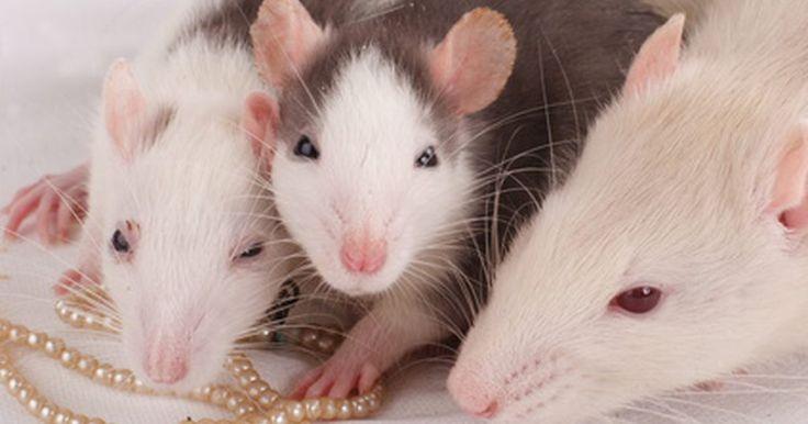Cómo identificar a las crías de ratones y ratas. Las ratas y los ratones son mascotas pequeñas muy populares, deleitando a niños y adultos por igual. Los ratones son más pequeños y tienen características más refinadas que las de las ratas. Hay muchas especies de roedores que son llamados ratones o ratas. Sin embargo, a las especie que más comúnmente se las llama así y se usan como animales de ...