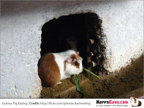 Dangerous Guinea Pig Food List- Unsafe Foods