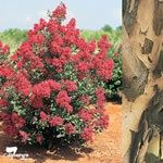 Crepe Myrtle Small 3 metre tree Lagerstroemia indica x L. fauriei 'Tonto  Landscape value:A long flowering, mildew resistant large shrub to small tree tolerant of a wide range of site conditions. This cultivar is excellent for small parks and gardens or for use in containers.