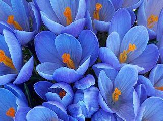 flores preciosas azules