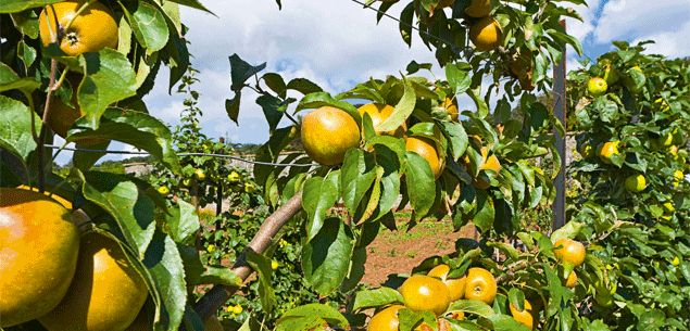 Hopefully, we're heading back towards the trend of growing fruit trees. No matter how small your section.