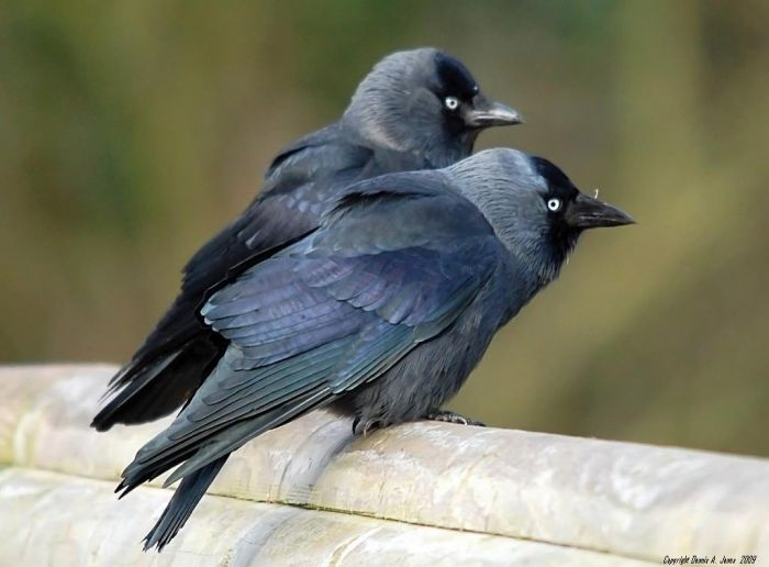 Western jackdaw (Coloeus monedula)  also known as the Eurasian jackdaw, European jackdaw, or simply jackdaw, is a passerine bird in the crow family. Found across Europe, western Asia and North Africa, it is mostly resident, although northern and eastern populations migrate south in winter.