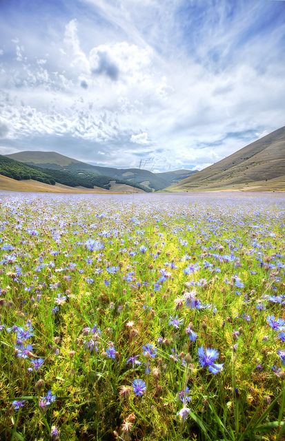 Italy, Apennine Mountains, Umbria, Violet Blue, Castelluccio di Norcia, Flower Fields
