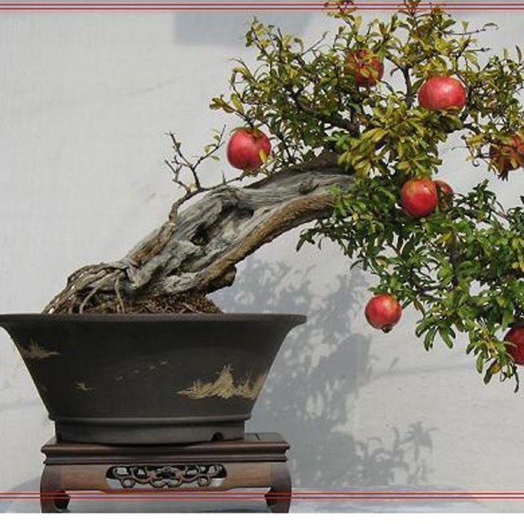 Купить товар20 шт./лот, бонсай семена граната очень сладкий Вкусные фрукты семена, суккуленты семена Деревьев в категории Садовые украшенияна AliExpress. 20 шт./лот, бонсай семена граната очень сладкий Вкусные фрукты семена, суккуленты семена Деревьев