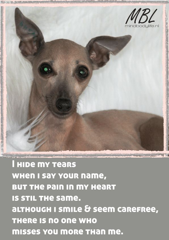 Tora-italiaaanse-windhond-quote italian greyhound op mindbodylife.nl