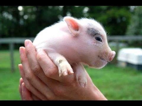 Entrañables imágenes protagonizadas por cerdos vietnamitas
