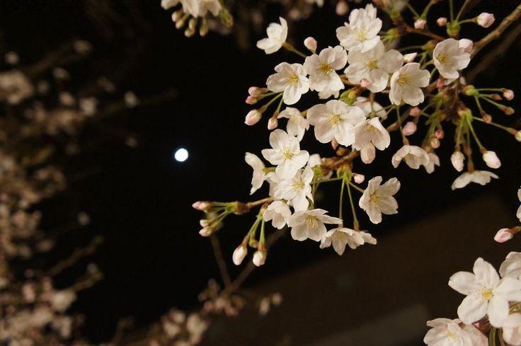 咲き始めの桜と月