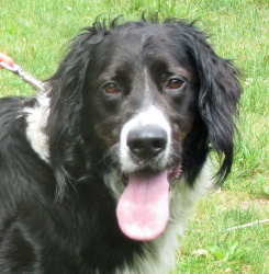 Wrangler is an adoptable Border Collie Dog in Twinsburg, OH. Wrangler is around 4 years old and weighs about 65 pounds. Wrangler is a goofy boy that makes you laugh! He enjoys wading and playing in ba...
