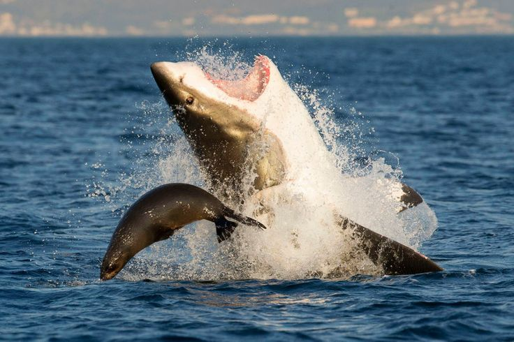 Incredible pictures of seal escaping death by perching on Great White shark's NOSE