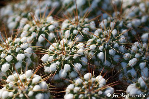 Cactus: Mammillaria