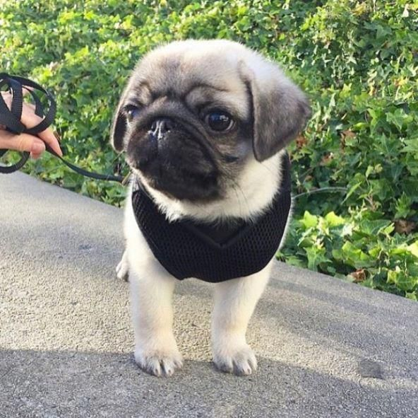 It Ll Be Ok Buddy Baby Pugs Baby Pug Dog Cute Pugs