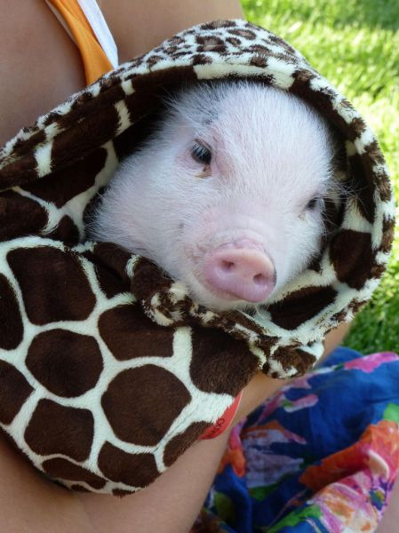 17 Best images about Pigs on Pinterest | Mini piglets ...