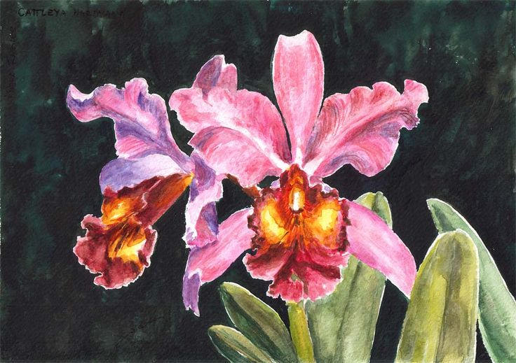 Cattleya Hardyana, orchid by Maga Fabler; watercolor