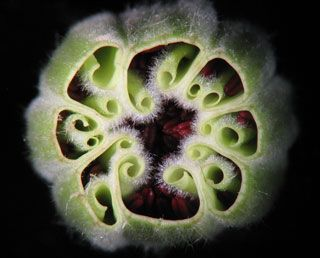 Clematis Flower Bud (cross section)