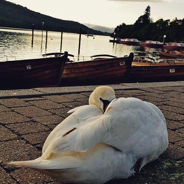 Lake Windermere, Lakes District, UK. Yes, that swan looking at you... #lakewindermere #lakesdistrict #traveltease #travel #instatravel #instago #fun #travelgram #swan #heslookingatyou