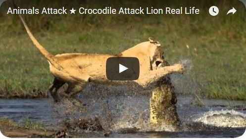 Beautifulplace4travel: Crocodile Attack Lion Real Life