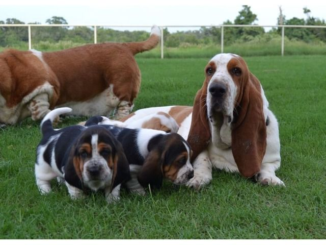 listing Charming Basset Hound Puppies Available is published on Free Classifieds USA online Ads - http://free-classifieds-usa.com/for-sale/animals/charming-basset-hound-puppies-available_i28783