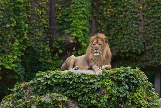 The Lincoln Park Zoo in northern Chicago is free. Recently, two lionesses and two red pandas moved i... - alisafarov/shutterstock