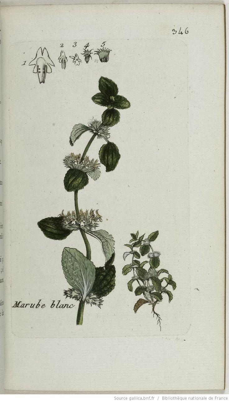 MARRUBIUM - Marrubium vulgare. Le marrube blanc / L'herbe aux crocs / Le marochemin