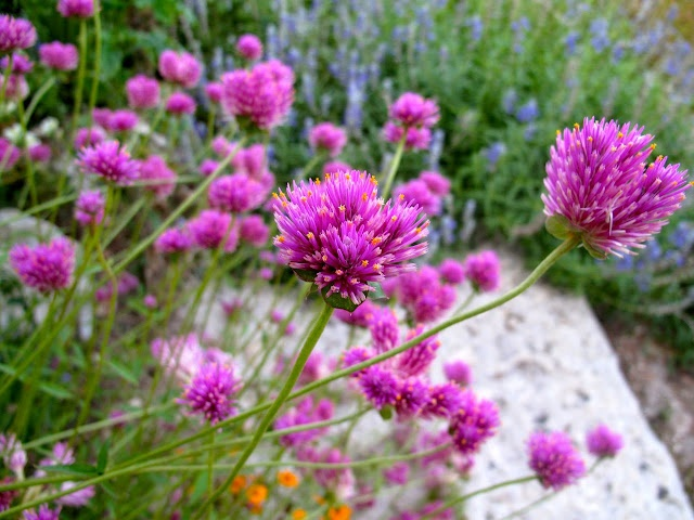 Gomphrena fireworks heat tolerant in central texas garden pinterest texas fireworks and - Heat tolerant plants keeping gardens alive ...