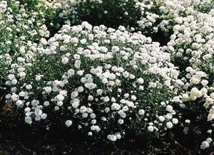 Pase Seeds - Achillea Ptarmica The Pearl Superior Perennial Seeds, $4.49 (http://www.paseseeds.com/achillea-ptarmica-the-pearl-superior-perennial-seeds/)