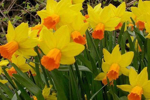 Jetfire Narcissus/Daffodil -10 Bulbs - Red/Orange Cup - 12/14 cm Bulbs