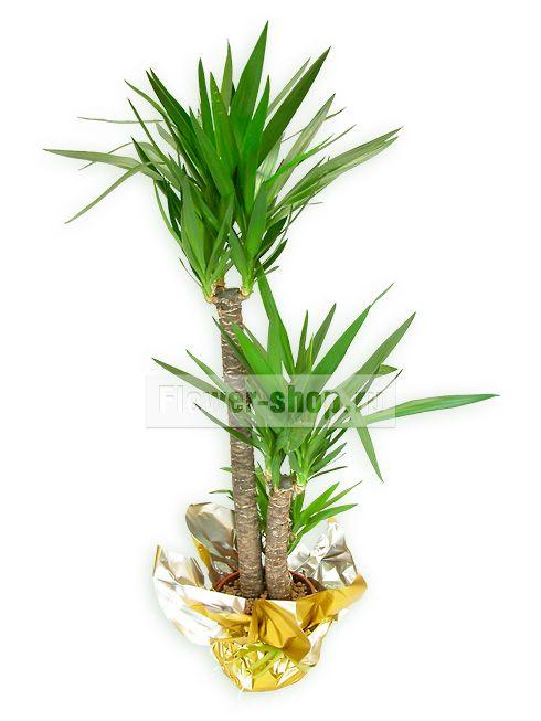 Растение «Юкка в подарочной упаковке»