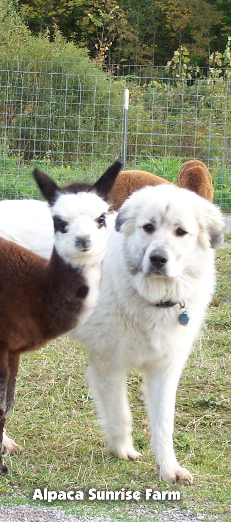 Alpaca Cria And A Great Pyrenees Guard Dog Alpaca Sunrise Farm Is A Full Service Alpaca Farm Since 1998 Alpac Great Pyrenees Pyranees Dog Great Pyrenees Dog