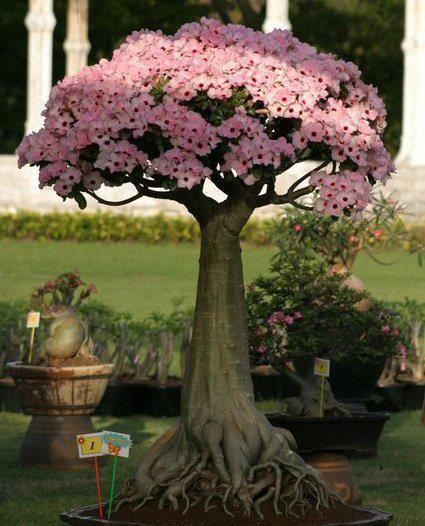 Desert Rose Bonsai (Adenium Obesum) Blooming in Pink... Observe Carefully the Intrincate Roots & Abundance of Flowers