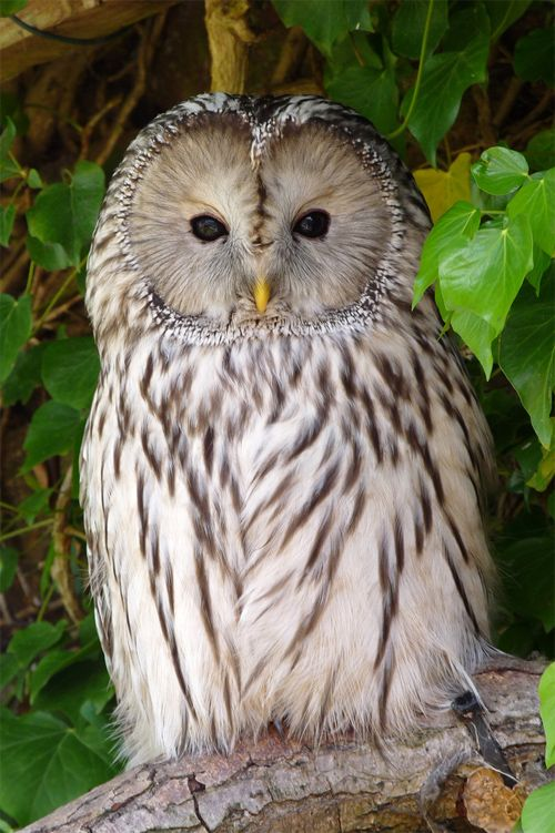 Best Owl Pictures Ideas On Pinterest Owls Beautiful Owl And - Meet the cuddly owl who loves landing on people