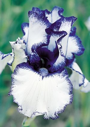 Iris germanica -- what fantastic color!!! <3<3