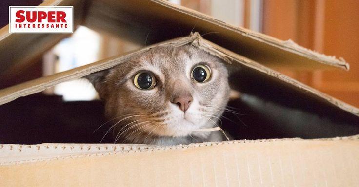 O de Schrödinger, é claro. Mas não só ele. Conheça mais gatos heróicos – que foram ao espaço, embarcaram em aviões radicais e assinaram artigos científicos