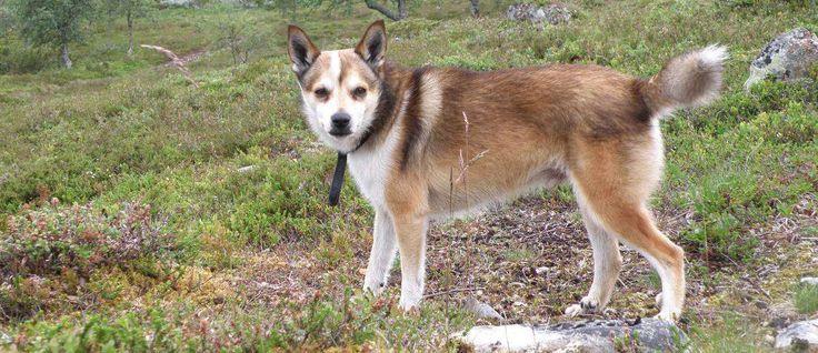 De Noorse Lundehund wordt beschouwd als een van 's werelds zeldzaamste honden. Het is een lid van de Spitz honden en de Noorse Lundehund is ontstaan in Noorwegen als jagers op Papegaaiduikers. Tijdens de jaren 1800 werden Papegaaiduikers beschermde soorten en viel dit ras uit de gratie. Na de Tweede Wereldoorlog waren ze bijna uitgestorven en wisten slechts vijf honden te overleven. Vandaag de dag wordt dit ras langzaam weer tot leven gebracht en erkend. Er zijn momenteel naar schatting…