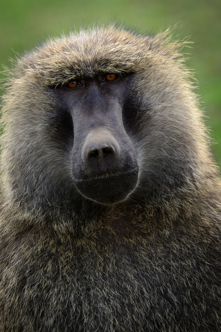 A Baboons But 1000+ ideas abo...