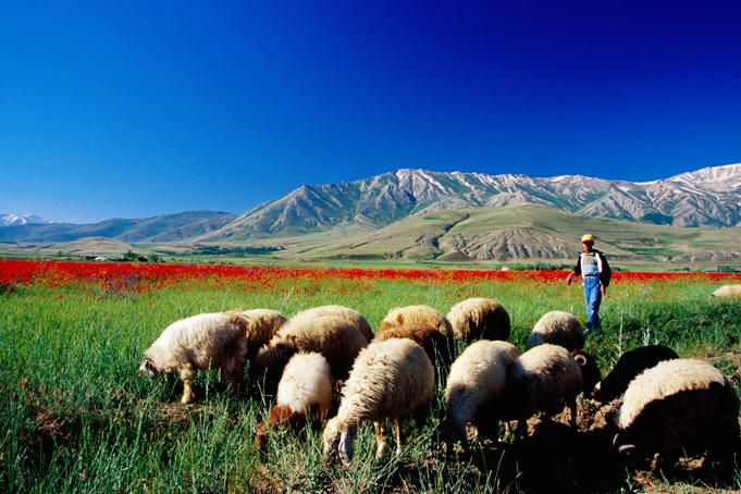 Sheep grazing near Lake Van, Turkey.    This part of Turkey feels like 'a dawn of time' kind of place.  It is a truly amazing landscape.