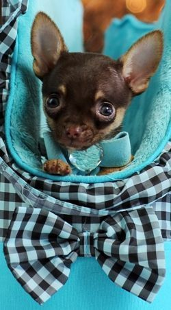 Chihuahuas for sale, teacup chihuahua dogs #Chihuahua