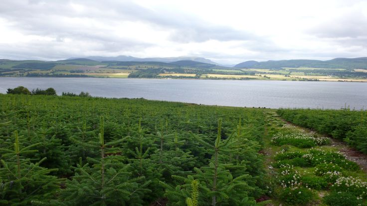 Needlefresh real Christmas Trees looking over the Cromarty ...