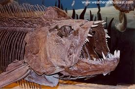 Xiphactinus--a 20 ft. long predatory fish that swam the seas of North America during the Late Cretaceous. Check out the teeth.