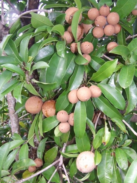 Sapodillas on tree.....growing this type of fruit in our garden of joy.