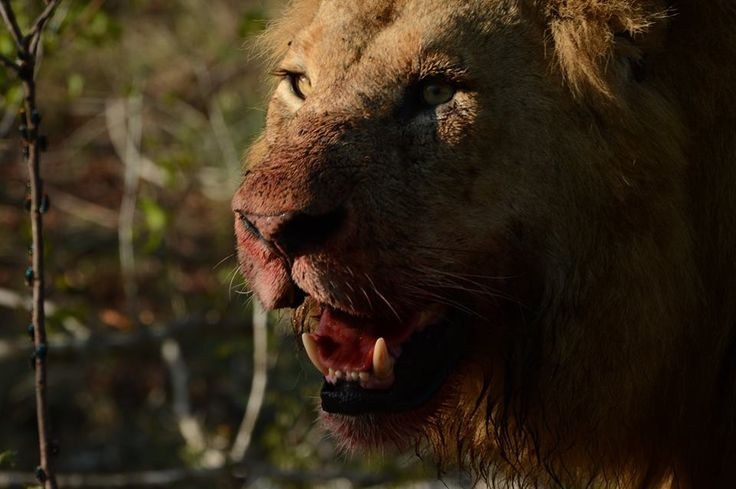 Cedric and his guests got to watch the Birmingham males kill 3 buffalo one afternoon. An incredible sighting for sure