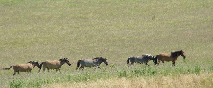 Dülmener Wildpferde in Hemer