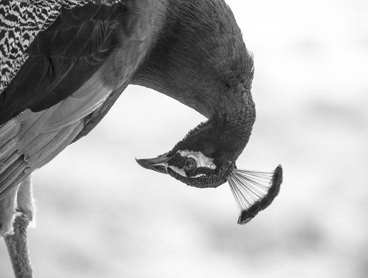 pavo blanco y negro